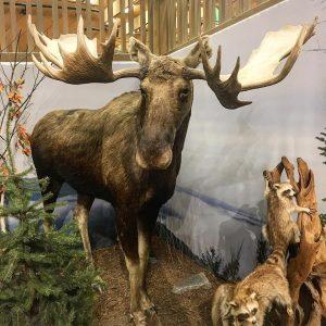 Found a moose!